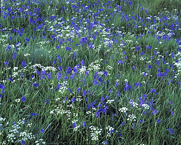 Carpet of bluebells in long grass, United Kingdom, Europe