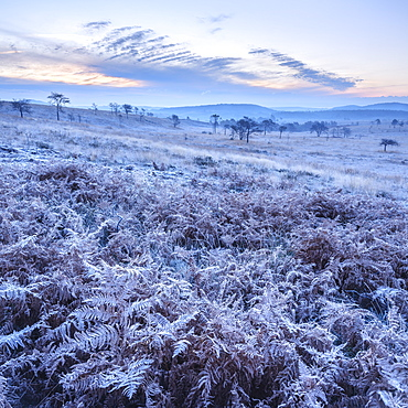 Heavy frost on bracken and a slight mist on the heathland of Woodbury Common, near Exmouth, Devon, England, United Kingdom, Europe