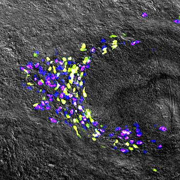 Planarian Stem Cell Colony