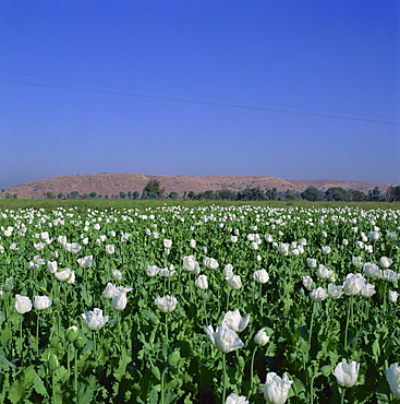 Field of opium poppies, Rajasthan, India, Asia