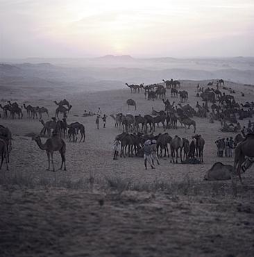 Camels and traders, Pushkar Camel Fair, Pushkar, Rajasthan State, India, Asia