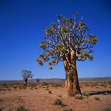 The Quivertree or Kokerboom in flower (Aloe Dichotoma), Namibia, Africa