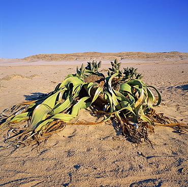 Welwitschia mirabilis, the famous fossil plant, a desert succulent, Namib-Naukluft Park, Namibia, Africa