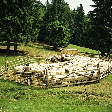 Shepherds tending sheep, Bucegi Mountains, Carpathian Mountains, Transylvania, Romania, Europe