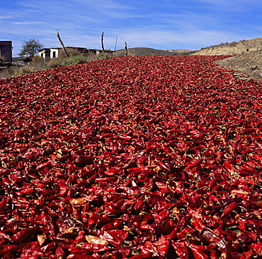 Chilli peppers drying next to Highway 1, Baja, Mexico, North America