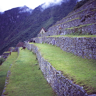 Llamas eat grass near the main entrance of Machu Picchu, UNESCO World Heritage Site, Peru, South America
