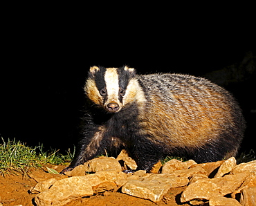 Animals, Mammals, Badgers , Adult European Badger Meles meles Foraging for food amongst rocks at night.