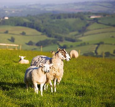 Ewe and lamb in a field in Devon, England, United Kingdom, Europe