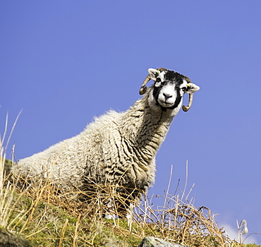 Close up of the traditional black faced Swaledale sheep found throughout the Yorkshire Dales, Yorkshire, England, United Kingdom, Europe