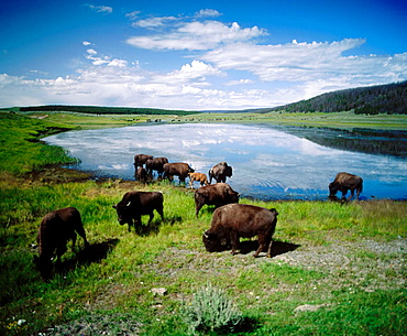 American Bisons (Bison bison), North of Norris Geyser Basin area, Yellowstone NP, Wyoming, U.S.A.