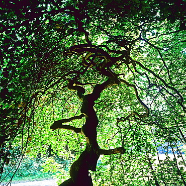 Twisted beech tree, Les Faux de Verzy forest, Champagne, France