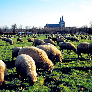 Germany, Xanten, Rhine, Lower Rhine, Rhineland, North Rhine-Westphalia, NRW, Saint Victor Cathedral, basilica minor, abbey church, priory church, catholic church, Gothic, Late Romanesque style, meadow landscape, pasture, flock of sheep. Germany, Xanten, Rhine, Lower Rhine, Rhineland, North Rhine-Westphalia, NRW, Saint Victor Cathedral, basilica minor, abbey church, priory church, catholic church, Gothic, Late Romanesque style, meadow landscape, pasture, flock of sheep