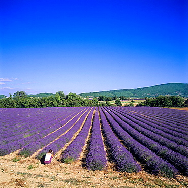 Flowering lavender field, woman taking pictures, Provence, France