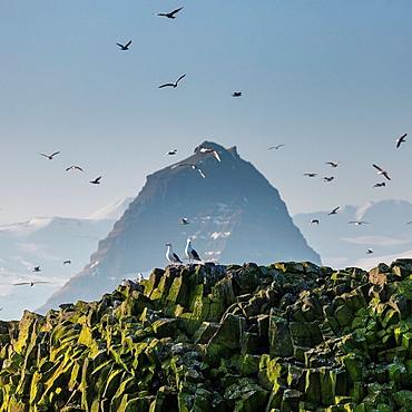 Mt  Kirjufell and seagulls on Melrakkaey island, Iceland Melrakkaey Island is in Grundarfjordur on Snaefellnes Peninsula, Western Iceland