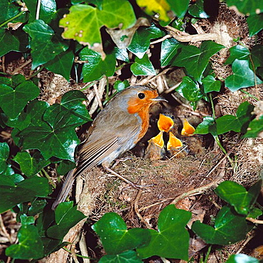 European Robin (Erithacus rubecula) at nest with young, Sussex, England, UK