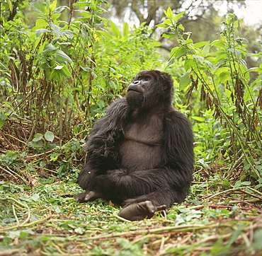 Blackback male Mountain Gorilla (Gorilla g. beringei), Virunga Volcanoes, Rwanda, Africa