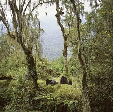 Mountain Gorillas (Gorilla gorilla beringei) Shinda, a silverback male, and family group resting, Virunga Volcanoes, Rwanda, Africa