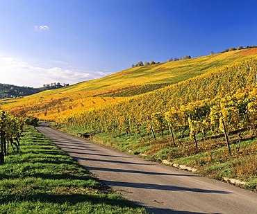 Vineyards in autumn near Uhlbach, Baden-Wuerttemberg, Germany, Europe