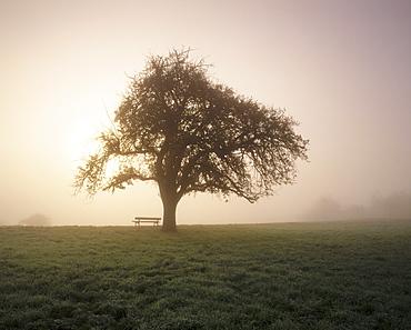Solitary tree in autumn, Swabian Alb, Baden-Wuerttemberg, Germany, Europe