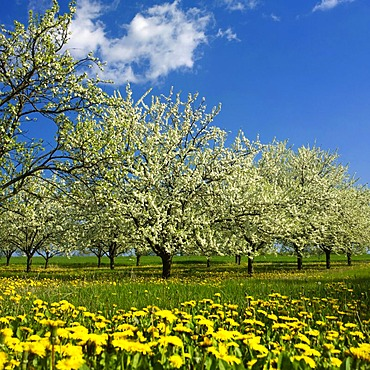 Apple trees in blossom, Puy de Dome, Auvergne, France, Europe