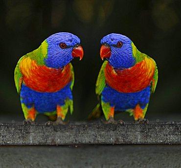 Rainbow Lorikeets, Loris (Trichoglossus haematodus), Queensland, Australia