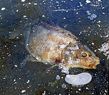 Frozen carp in a frozen fish pond