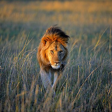 Lion (Panthera leo) with a mane in the first morning light, Masai Mara Nature Reserve, Kenya, East Africa