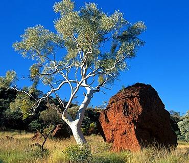 Red boulder rock, Eucalyptus gum tree, Pilbara, Northwest Australia