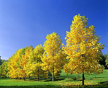 Young Maple trees (Acer) in autumn, autumnal foliage, Germany, Europe