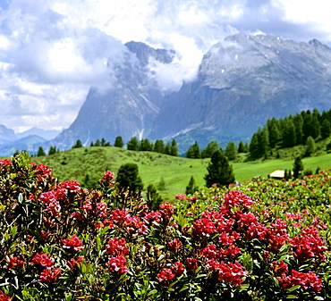 Rusty-leaved alpenrose (Rhododendron ferrugineum), in front of Langkofel and Plattkofel mountains, Dolomites, South Tyrol, Italy, Europe