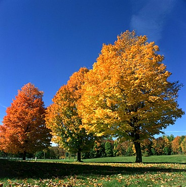 Maple trees (Acer), autumnal coloured leaves, Indian summer, New England, USA