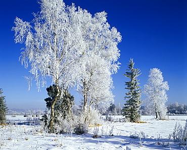 Winter time snow tree hoarfrost