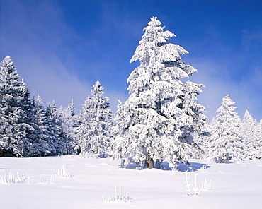 Fir trees (Abies) in the snow, southern Black Forest, Baden-Wuerttemberg, Germany, Europe