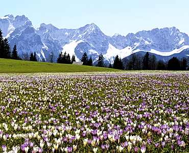 Crocus meadow near Gerold in spring, Karwendel mountain range, Upper Bavaria, Germany