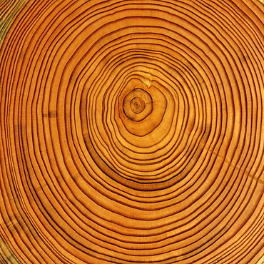 Larch (Larix) tree trunk cross-section: tree rings