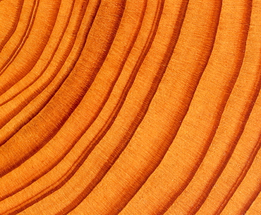 Tree trunk cross-section: tree rings