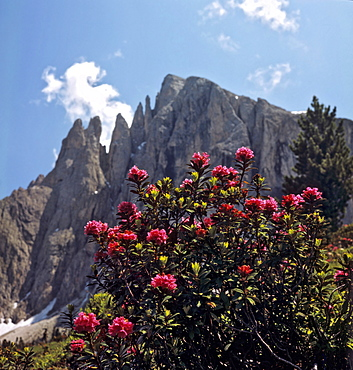 Alpine roses growing in front of Mt. Plattkofel, Langkofelgruppe Range, Dolomites, South Tirol, Italy, Europe