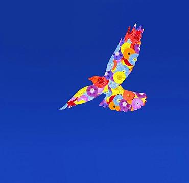 Coloured Alpine Chough Pyrrhocorax Graculus flying in blue sky