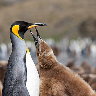 King penguin (Aptenodytes patagonicus) feeding a chick, Fortuna Bay, South Georgia Island