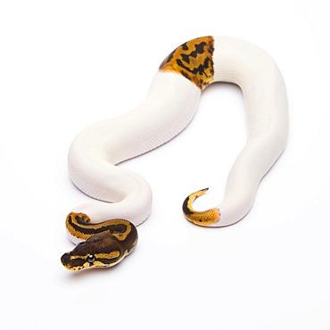 Royal python (Python regius), Leopard Piebald, male, reptile breeder Willi Obermayer, Austria