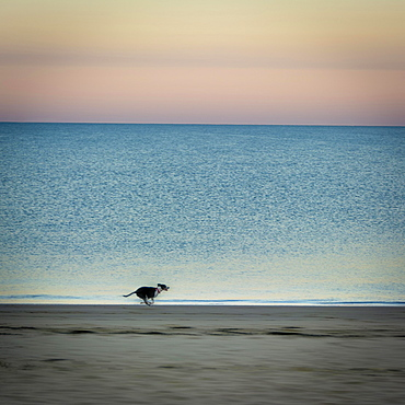Dog on beach at sunrise, Chatelaillon-Plage near La Rochelle, Charente-Maritime department, Nouvelle-Aquitaine, France, Europe