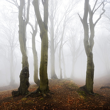 Mysterious forest in the fog, bizarrely overgrown bare beeches, autumn, Ore Mountains, Czech Republic, Europe