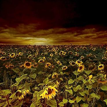 Sunflower field (Helianthus annuus), gloomy sky, Erfurt, Thuringia, Germany, Europe