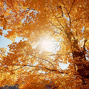Golden Maple leaves (Acer) in Indian summer, New England, USA