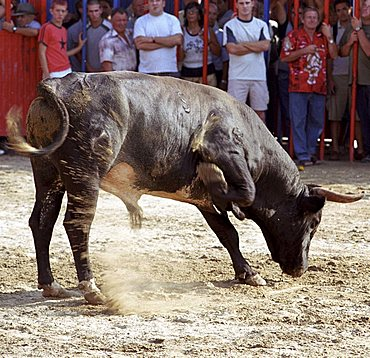 Bull during the running of the bulls in Peniscola, Spain, Europe