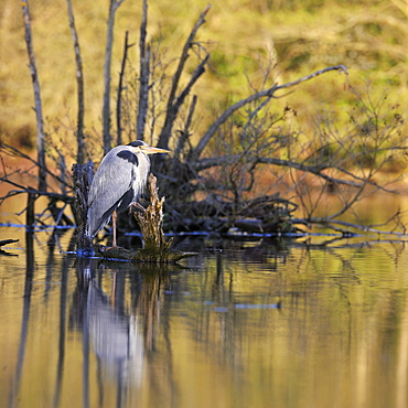 Grey Heron on a stump at Alder lakeside -France