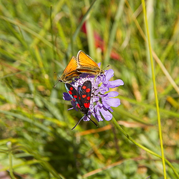Butterfly on flower, Grande Sassière Vanoise Alps France