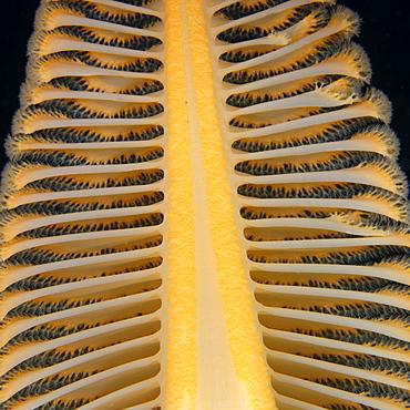 Orange Sea Pen, Pacific Ocean Alaska USA