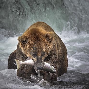 Grizzly catching Salmon in a waterfall, Katmai Alaska USA