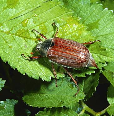 cockchafer or may bug may beetle